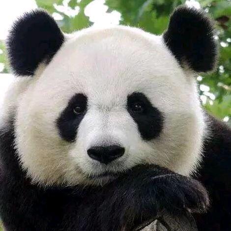 熊猫为什么会变成国宝呢?百思不得其解呢?这货可是上古神兽啊!